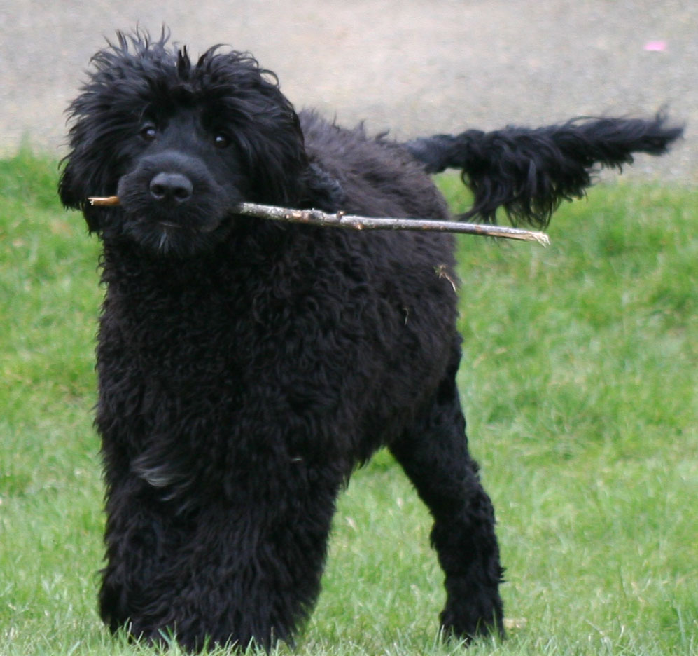 Frequently Asked Questions - Stowaway Portuguese Water Dogs